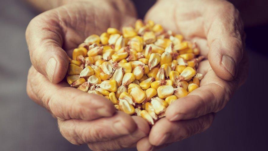 """La mise en culture de semences comportant des OGM est interdite en France, mais """"une centaine d'OGM"""" au total sont bien autorisés dans la consommation."""