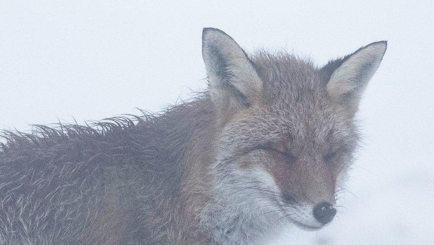 Les temps sont durs aussi pour le monde animal, à l'instar de ce renard photographié sur le secteur de Laguiole.
