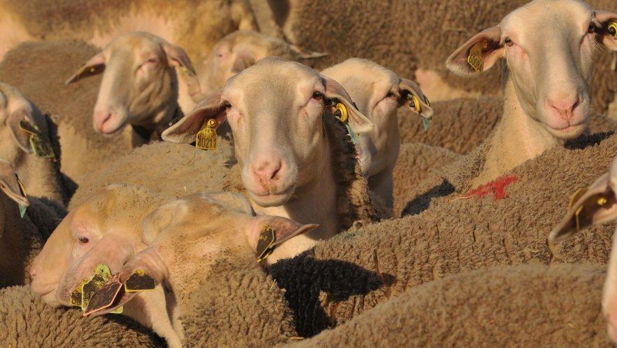 Plus d'une centaine de brebis ont été retrouvées mortes, privées d'eau et de nourriture, abandonnées par leur éleveur,
