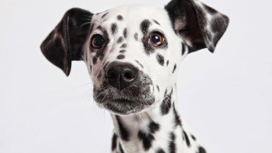 """Le dalmatien est """"scientifiquement"""" le chien le plus beau du monde."""