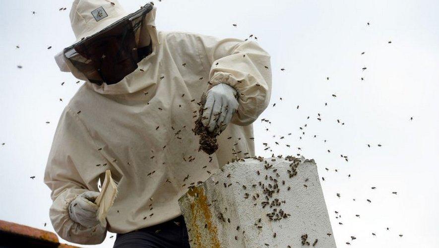 Les abeilles se font tour à tour nettoyeuses, nourrices, collecteuses, bâtisseuses, gardiennes et butineuses.