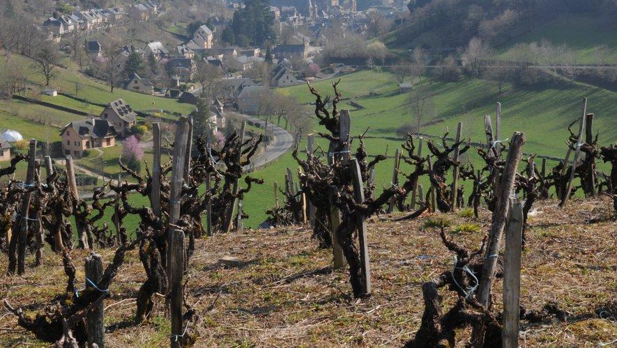 Le vignoble aveyronnais, comme ici à Estaing, n'a pas été épargné par le gel.