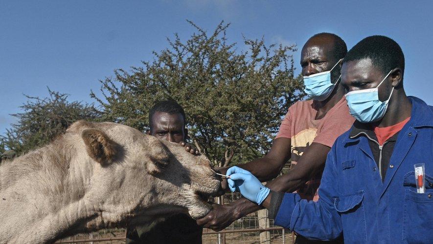 Dans la réserve naturelle de Kapiti, au sud du Kenya, ce dromadaire subit dans la fureur un test PCR destiné à détecter un cousin du Covid-19, le Mers.