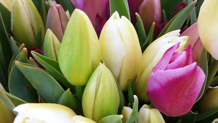 La tulipe, une fleur très prisée sur les marchés aveyronnais.