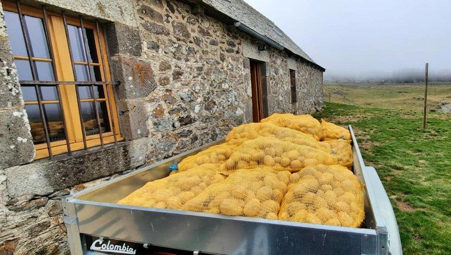 Les pommes de terre sont arrivées sur l'Aubrac, ici au pied du buron du Couderc.