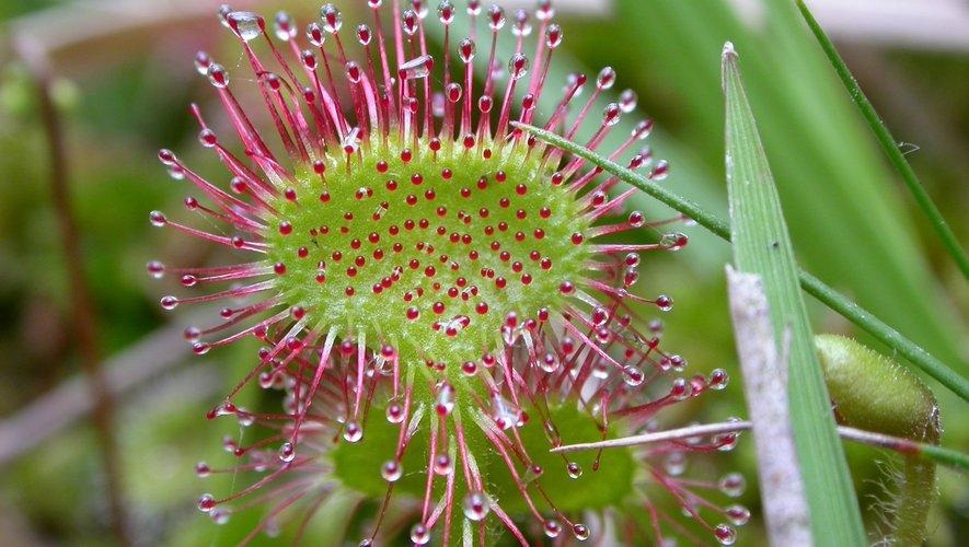 Entre autres espèces, la droséra rotundifolia vous attend.