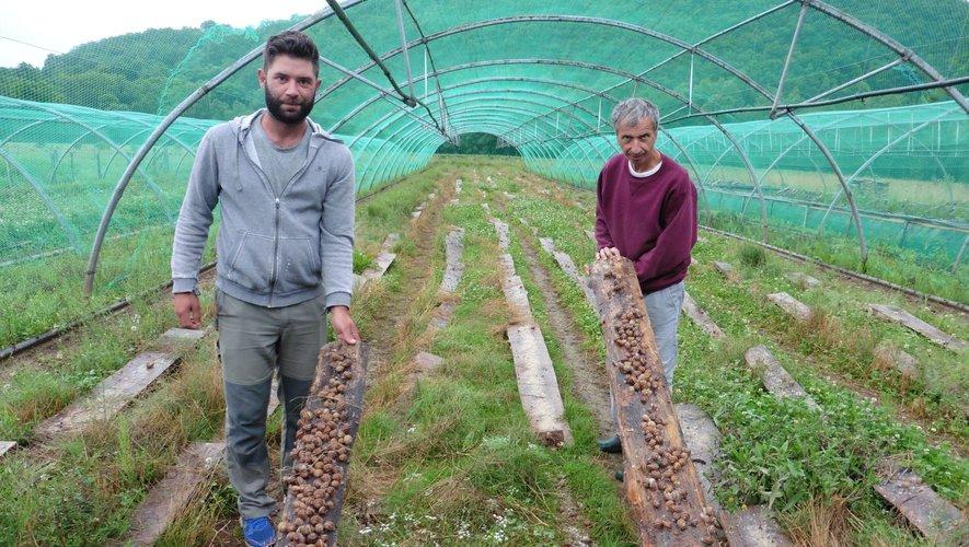 """Des milliers d'escargots """"gros gris"""" sur le site de Nadaillac élevés par Alain Pradalier et Julien Fontanier."""