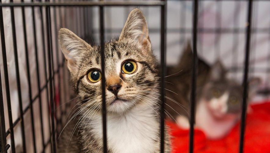 """Les chats représentent les deux tiers des animaux recueillis par la SPA, """"à saturation""""."""
