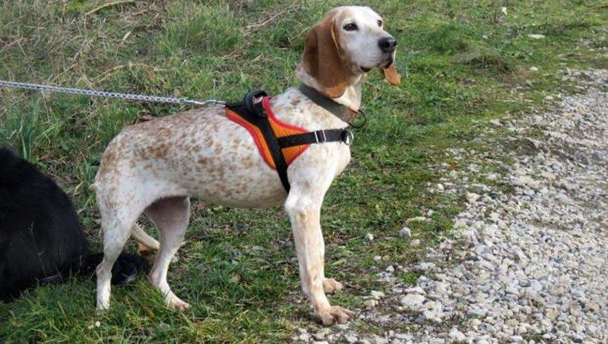 Doris, chienne de 10 ans, recherche une famille engagée et aimante au refuge SPA de Millau suite au décès de son maître.