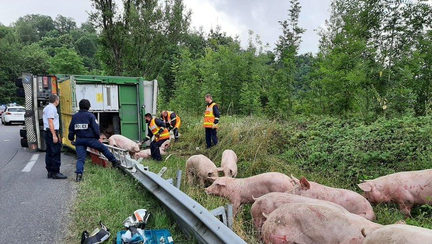 Camion renversé à Flagnac: une centaine de cochons sur la route