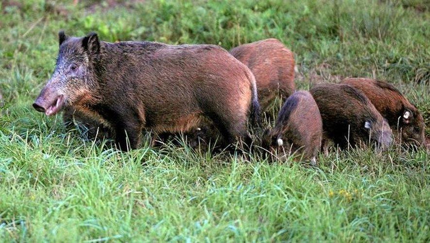 La chasse au sanglier est ouverte depuis le 15 août.