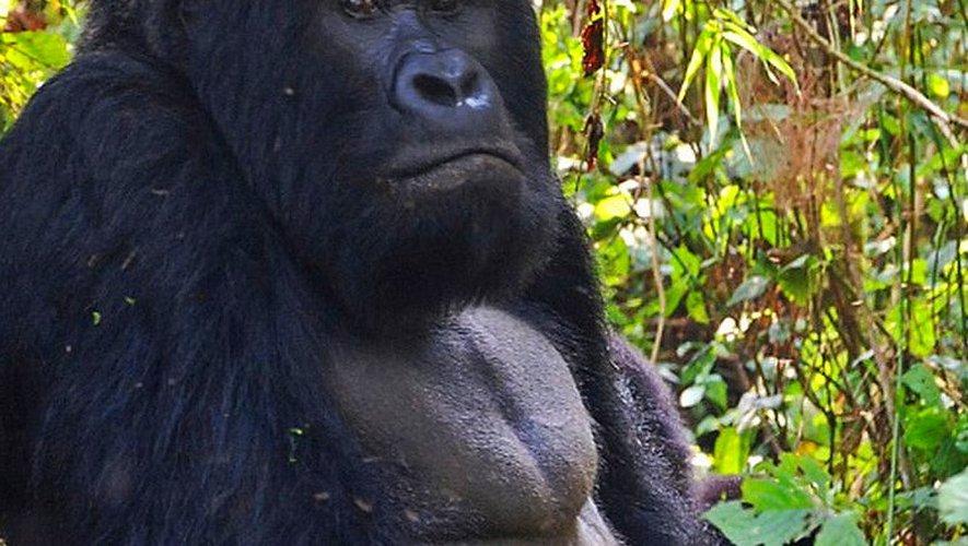 A 98 %, le gorille présente les mêmes génomes que l'être humain.