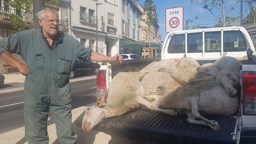 Alain Pouget, de la Coordination rurale de Rodez, devant les cadavres de brebis.