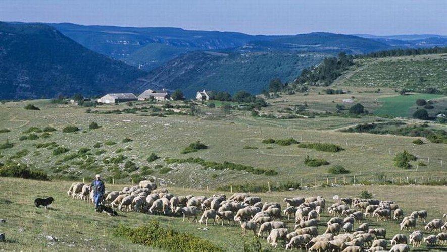 Les éleveurs aveyronnais sont également inquiets des attaques du loup.